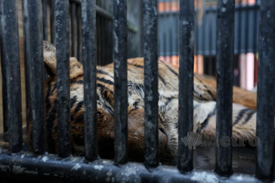 DUNGUN 19 JULAI 2019. Jabatan Perlindungan Hidupan Liar Dan Taman Negara (PERHILITAN) berjaya menangkap seekor harimau di Kampung Besul Lama, Bukit Besi. Harimau jantan terbabit ditembak menggunakan peluru ubat pelali sewaktu berehat di dalam sebuah belukar yang terletak kira-kira 500 meter daripada jalan utama di kampung terbabit, jam 3.30 petang. NSTP/IMRAN MAKHZAN