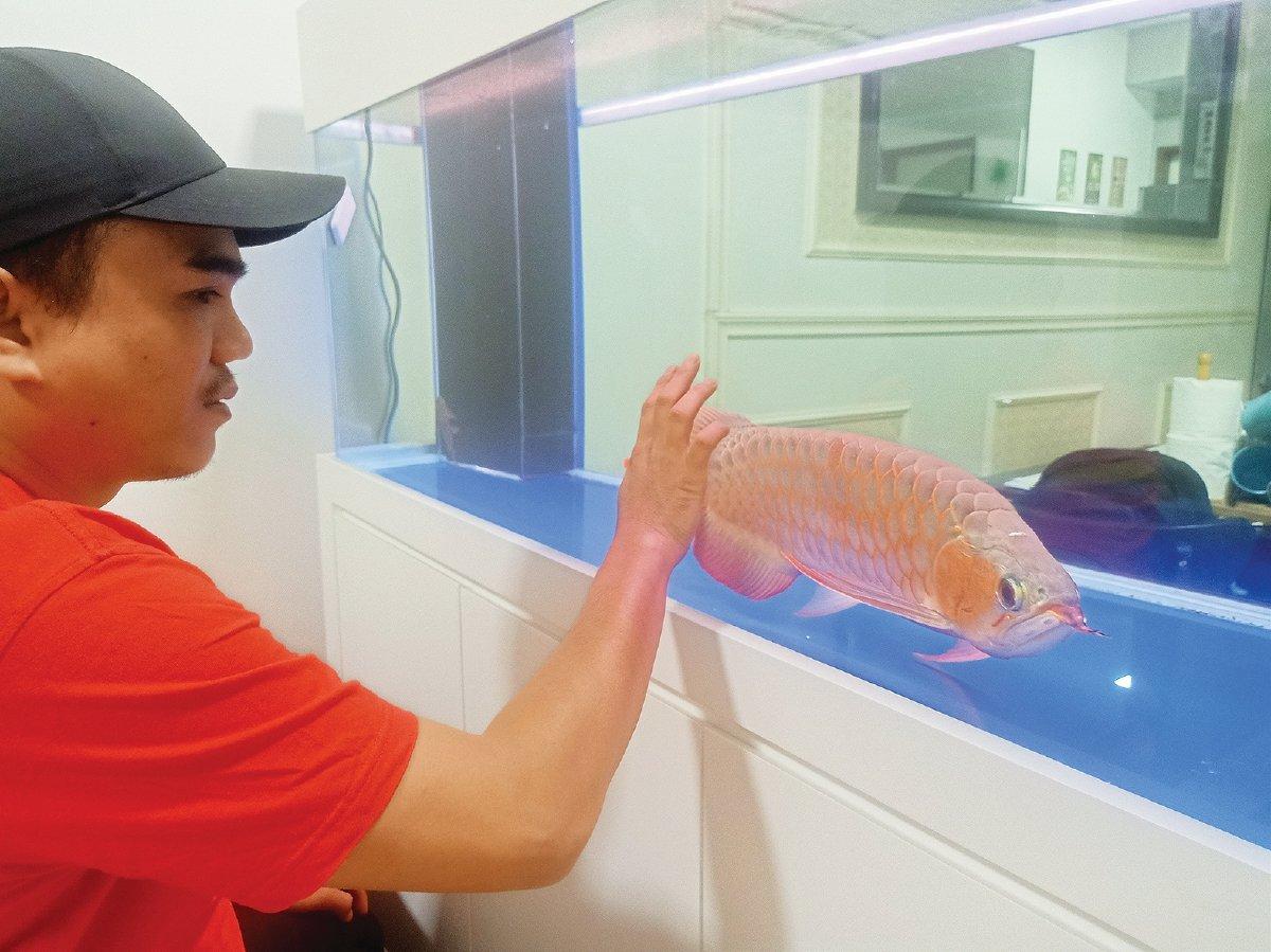 HAFIZ membeli ikan kelisa super red empat tahun lalu pada harga RM2,200.