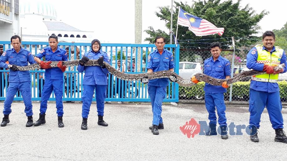 ANGGOTA APM menunjukkan ular sawa yang ditangkap di Kampung Sungai Ayam, Batu Pahat, Johor. FOTO Essa Abu Yamin