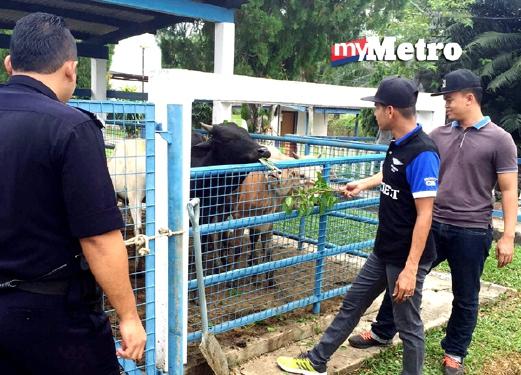 Anggota polis menemui 12 lembu dalam kandang di Kampung Gua Kalong, Merapoh, yang dipercayai dicuri sekitar Kuala Lipis. - Foto Ihsan PDRM