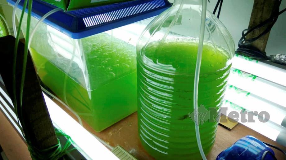 MIKRO alga yang diternak di makmal UMK Jeli. FOTO/ Ihsan UMK Jeli