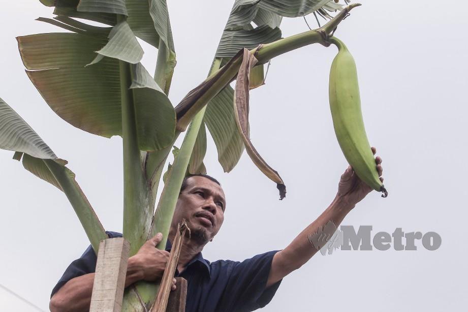 Rosli menunjukkan pisang tanduk yang ditanamnya di belakang rumahnya di Kampung Padang Balang, Sentul. Foto Hafiz Sohaimi