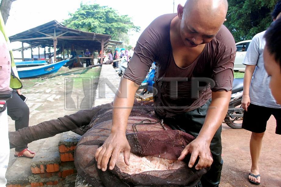 NIZAM membuka pundi sungkur yang dipenuhi geragau di pantai Kampung Pantai Rombang, Pantai Puteri Tanjung Kling. FOTO/HASSAN OMAR