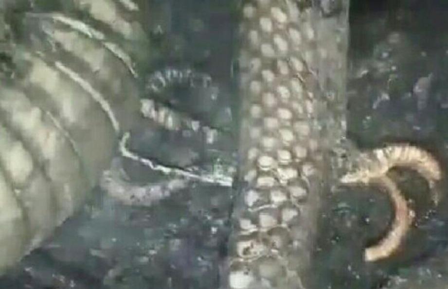 KEADAAN itu dijelaskan pakar yang menyatakan 'kaki' berkenaan sebenarnya kemaluan ular yang terkeluar ketika mati terbakar. FOTO Agensi