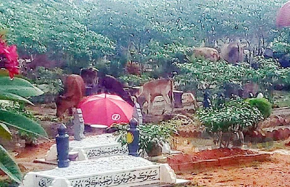 SEKUMPULAN lembu masuk ke dalam kawasan Tanah Perkuburan Islam Kampung Pinang Seberang Keretapi, Taiping. FOTO Tular