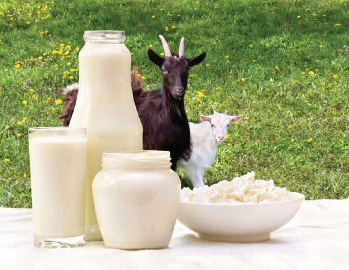 SUSU kambing tinggi khasiat.