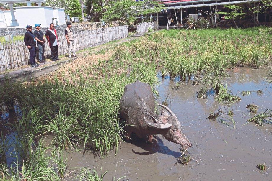 LAMAN padi di Langkawi.
