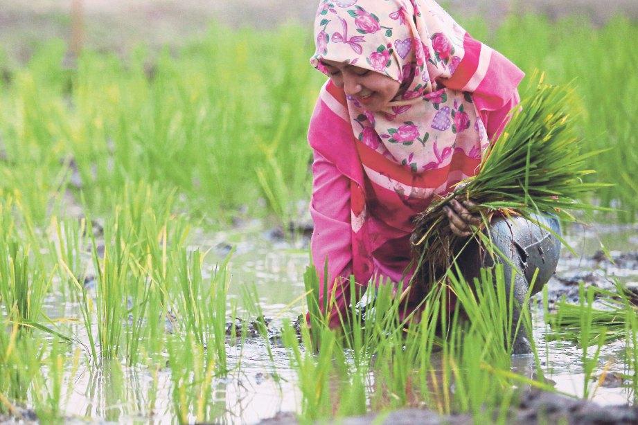 PESERTA diberi peluang menanam padi.