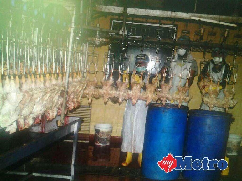 premis penyembelihan dan pemprosesan ayam di Semenyih diserbu penguat kuasa Jabatan Agama Islam Selangor (JAIS) hari ini kerana gagal mengikuti peraturan ditetapkan, walaupun memiliki sijil halal. FOTO ihsan JAIS