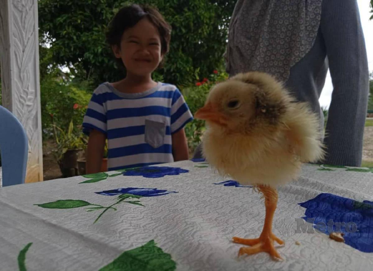ANAK ayam memiliki satu kaki yang dipelihara dua beradik. FOTO ROSELAN AB MALEK