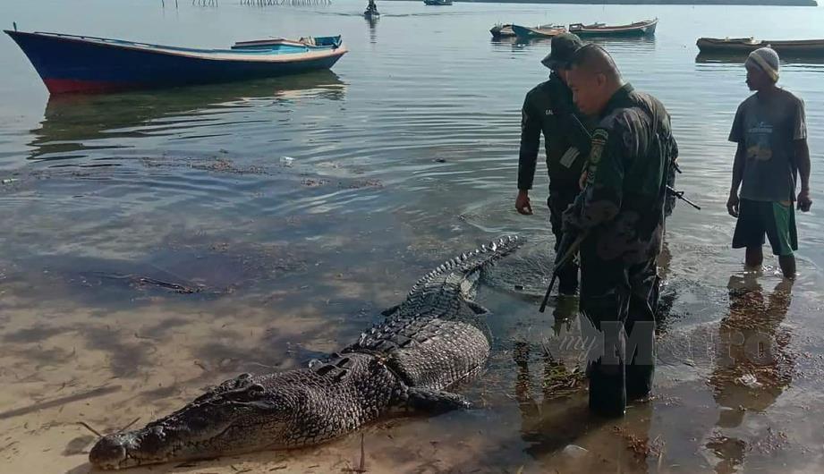 ANGGOTA polis Filipina memeriksa seekor buaya air masin sepanjang 4.9 meter (16 kaki) yang terdampar di sebuah pulau Balabac. FOTO: AFP