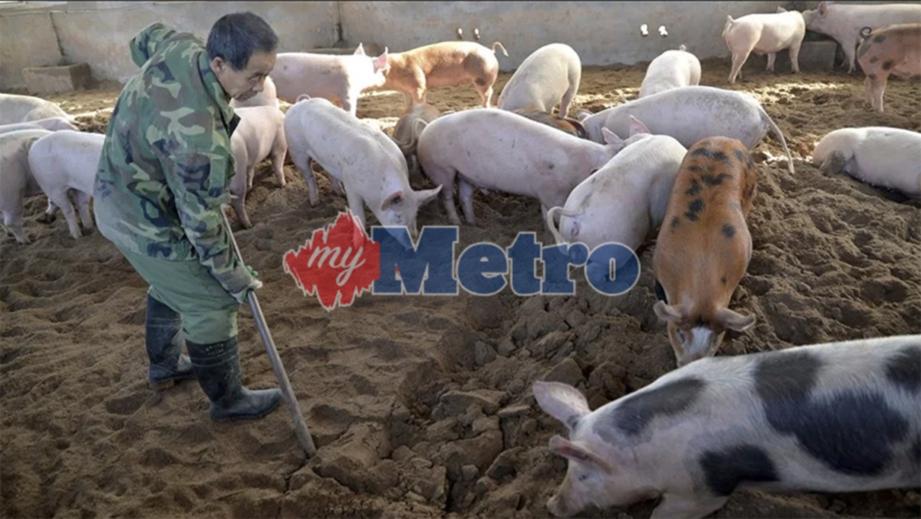 Hasil carian imej untuk Wabak Baru Demam Babi Afrika Ancam China