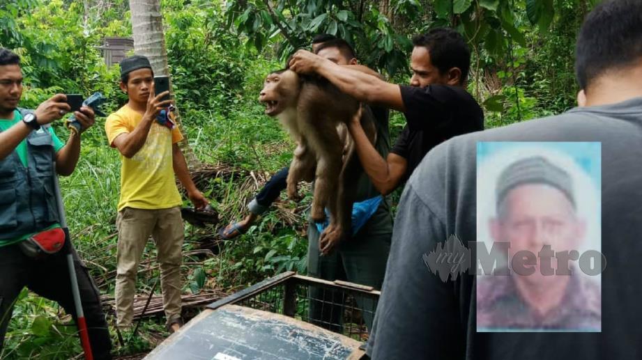 BERUK jantan yang mengamuk menggigit tuannya, Ngah (gambar kecil) sehingga meninggal dunia di Kampung Lemban Besar, Tepuh, Kuala Nerus. FOTO Ihsan Pembaca