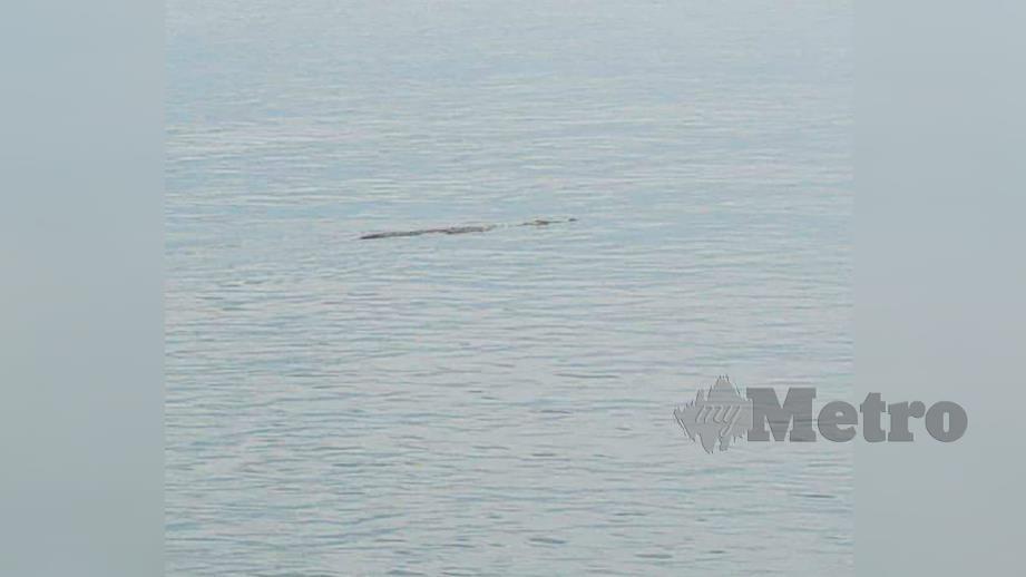 Gambar buaya yang dirakam di Pantai Irama pagi hari ini. Foto Ihsan Pembaca