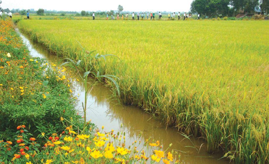 TEBING sawah berbunga sebagai kawalan serangga perosak di Vietnam.