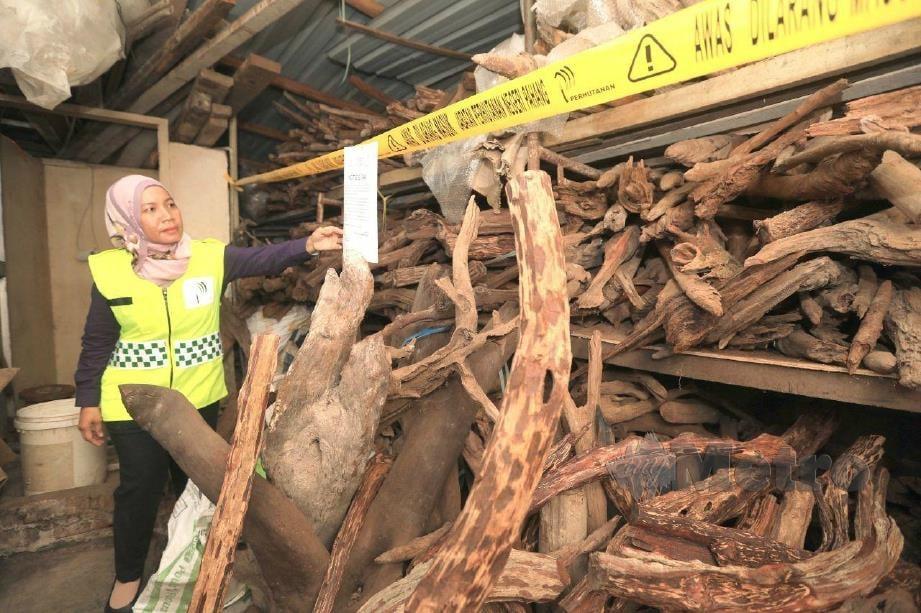 NORSUSILAWATI memeriksa teras kayu damar minyak dirampas di Seri Jaya, Maran, semalam. FOTO MOHD RAFI MAMAT