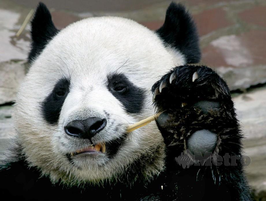 Chuang Chuang mati di zoo Chiang Mai. FOTO/AFP