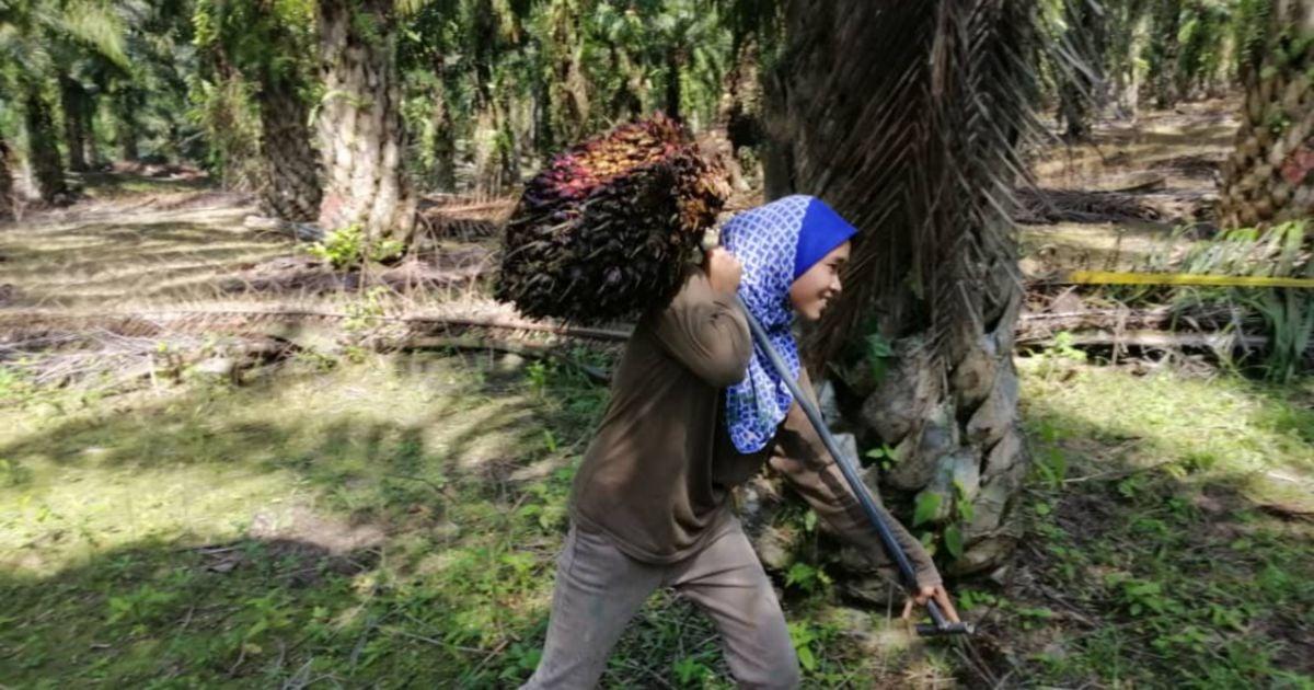 Angkat buah kelapa sawit bukan masalah buat Syazwani