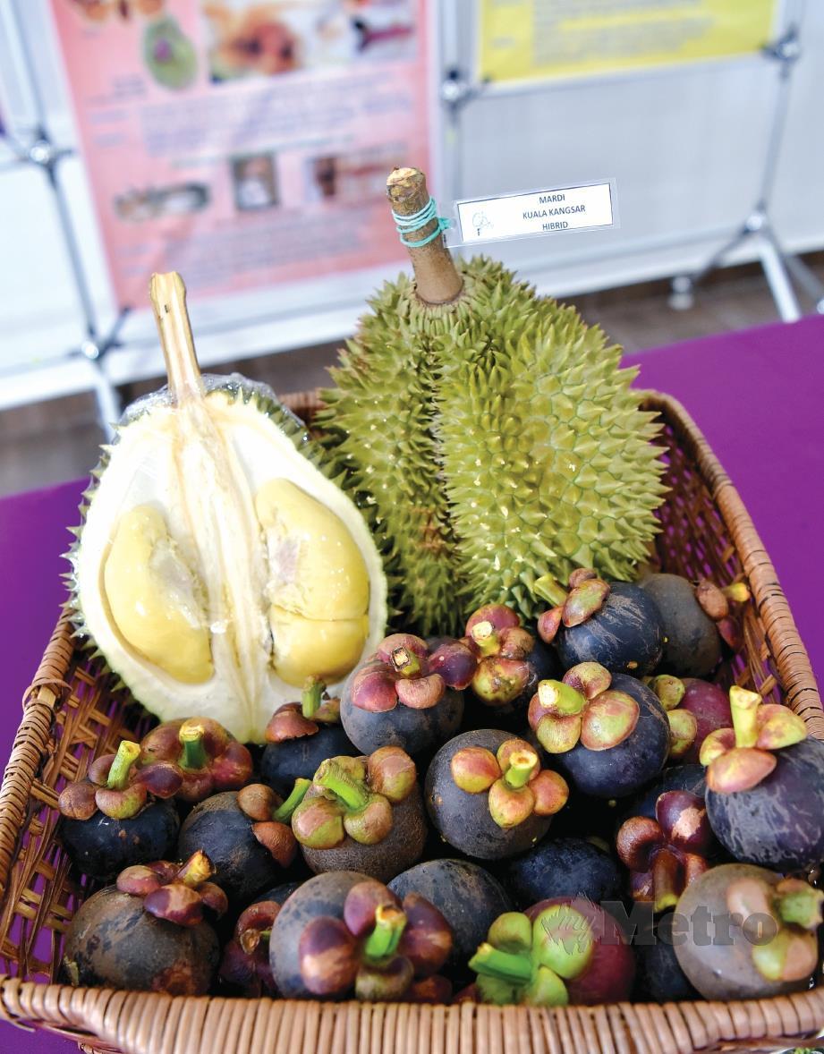 ISI durian MDUR 88 mempunyai nilai komersial tinggi. FOTO NSTP