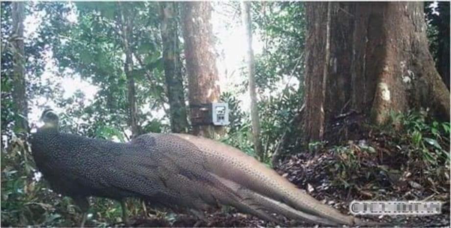 GAMBAR kuang gunung dirakam kamera dipasang dalam belantara Malaysia.