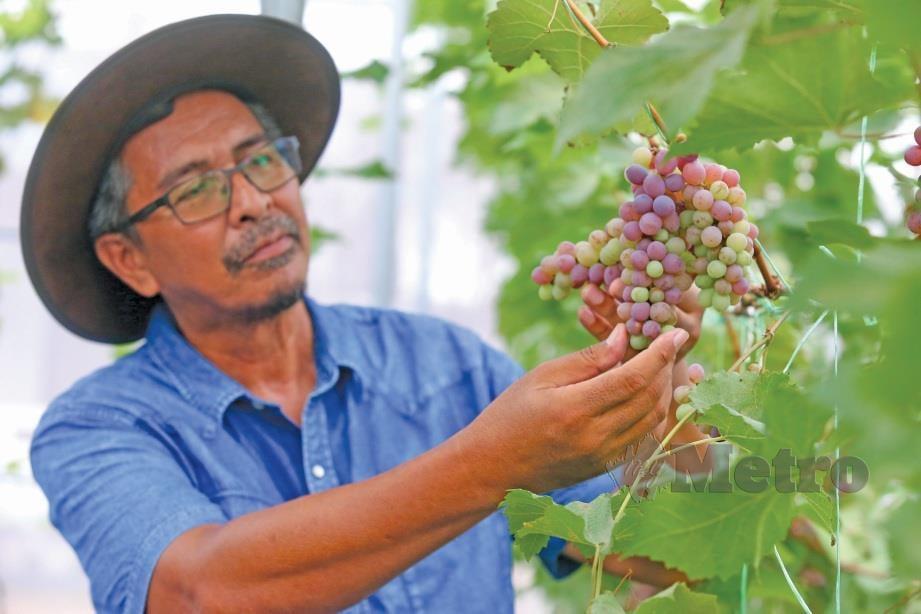 MARZUKI memeriksa buah anggur sebelum ia dapat dipetik. FOTO Intan Nur Elliana Zakaria