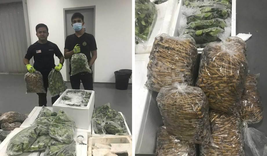 HASIL keluaran pertanian dari Thailand termasuk daun limau purut, akar jari dan daun limau yang dirampas oleh pihak MAQIS kerana tidak mempunyai dokumen. FOTO Ihsan MAQIS