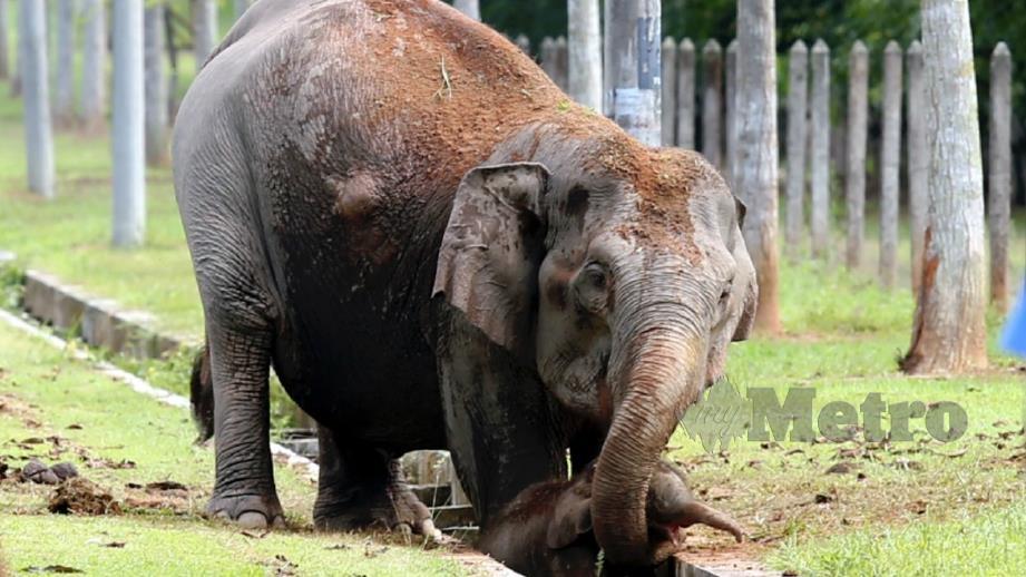 Ibu gajah membantu anak gajah naik selepas terjatuh ke dalam longkang di Stesen Penyelidikan Getah (RRI) di Kota Tinggi. FOTO Hairul Anuar Rahim