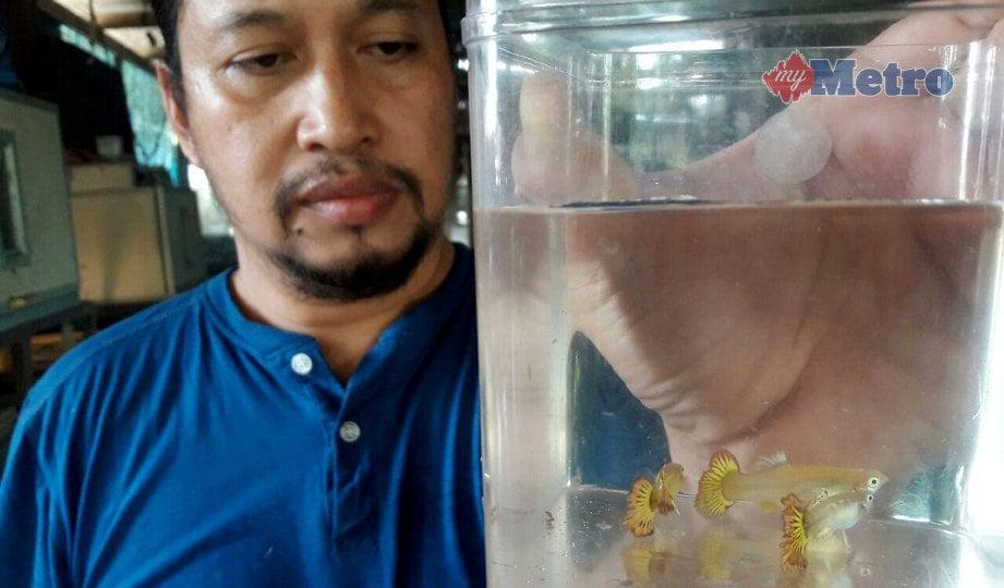 MOHD Nor Adib menunjukkan ikan gapi baka Phoenix Fire Tail yang berharga RM1,000. FOTO Ahmad Rabiul Zulkifli