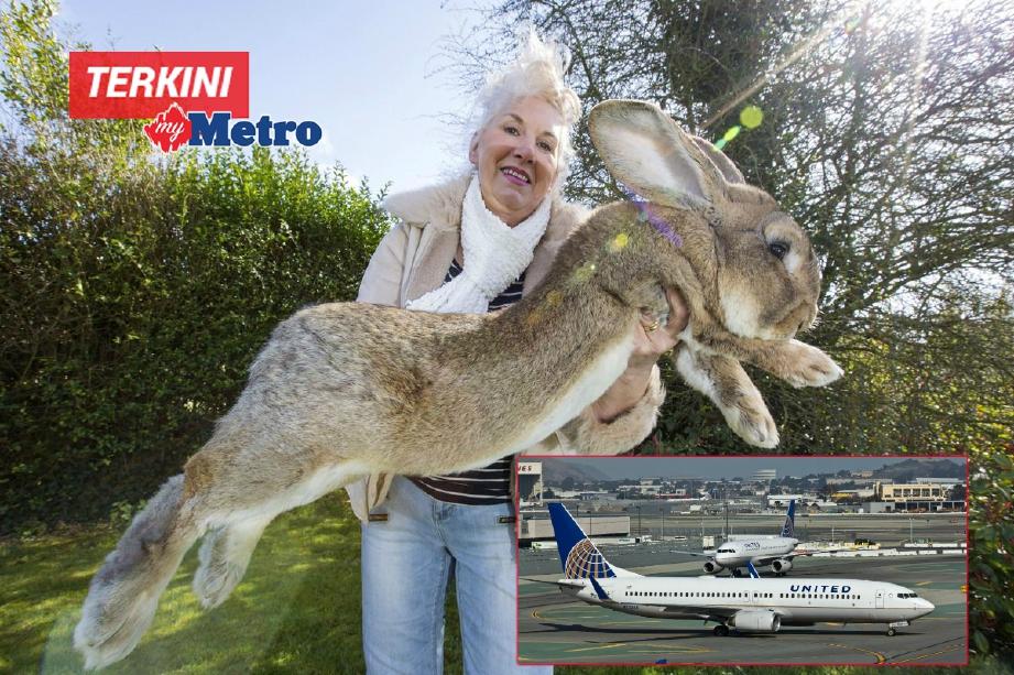 Gambar fail baka arnab gergasi United Kingdom. FOTO Agensi