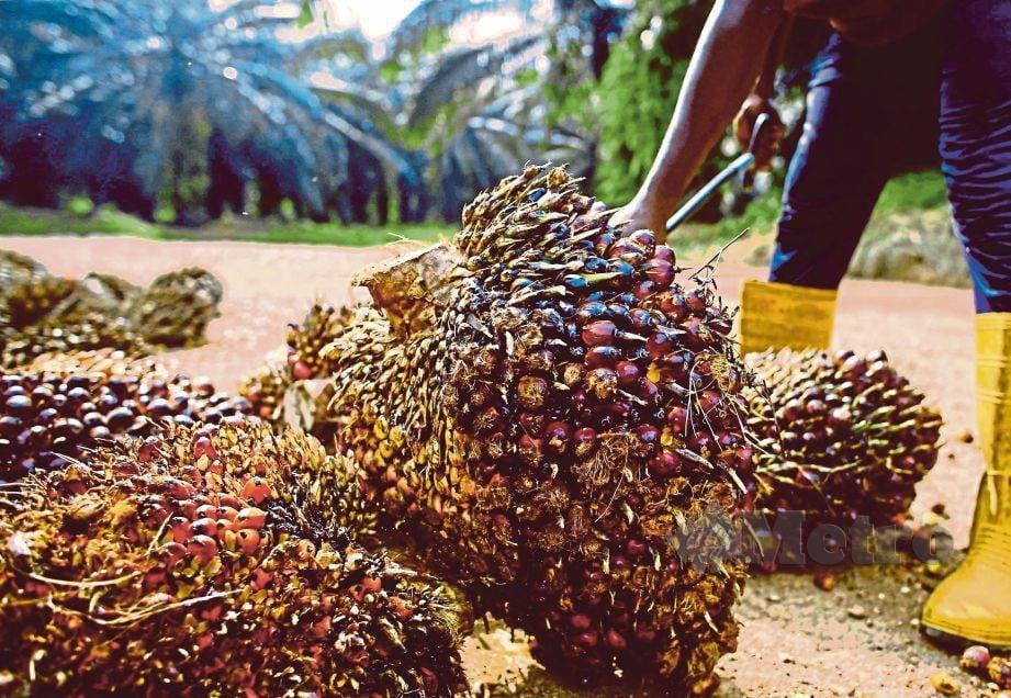 LADANG kelapa sawit. FOTO Adzlan Sidek