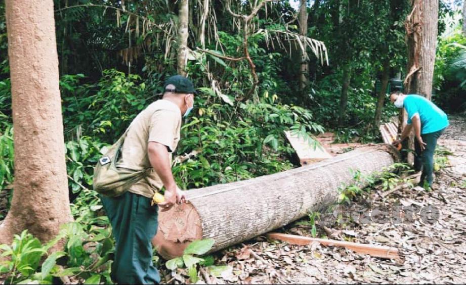 KAKITANGAN Pejabat Hutan Daerah (PHD) Temerloh dan Bera mengukur balak spesis Meranti Tembaga yang di tebang secara haram dalam Hutan Simpan Chini. FOTO Mohd Rafi Mamat