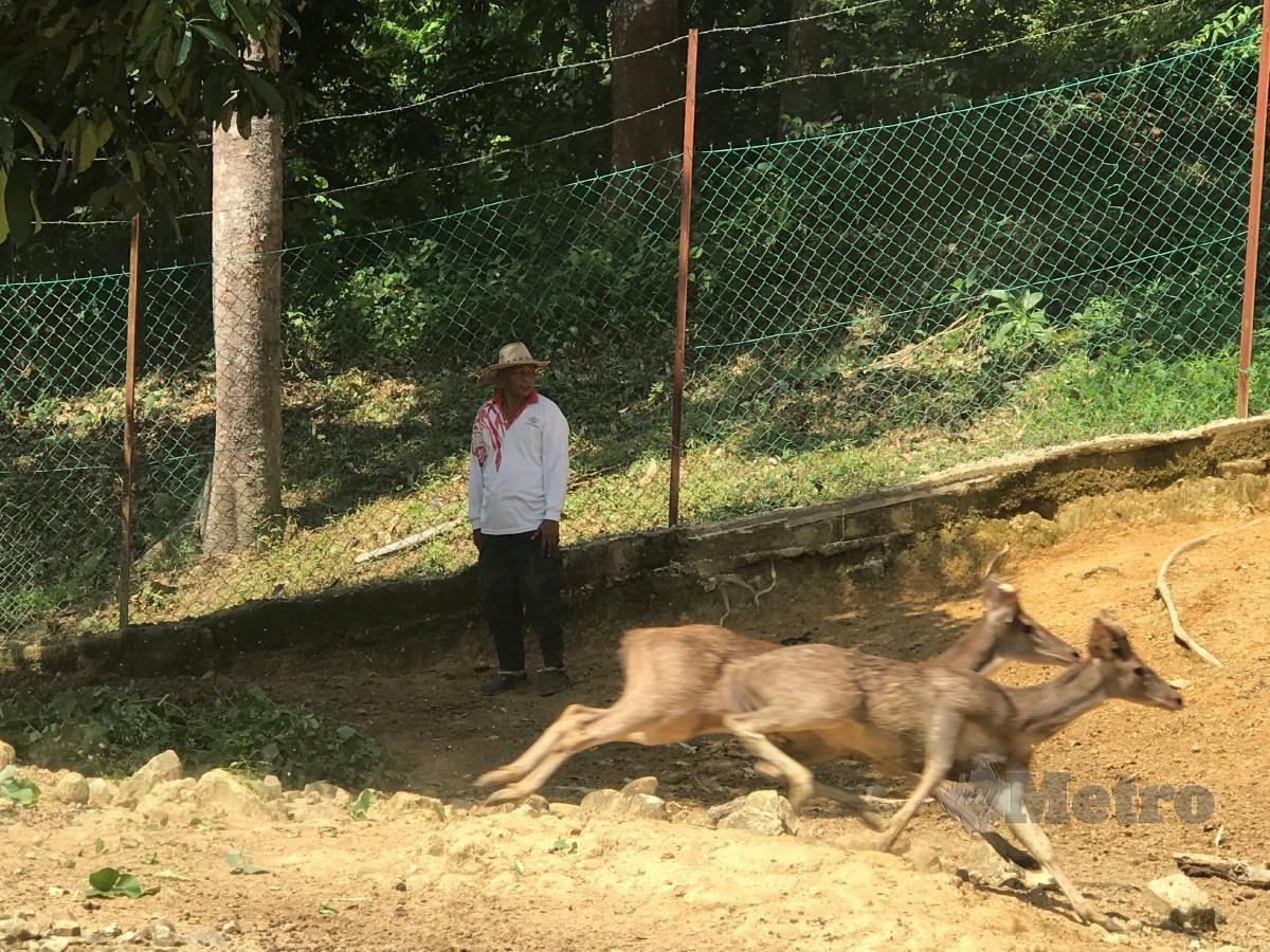 MOHD Zaid melihat rusanya lari sebaik dilepaskan dari kandang.