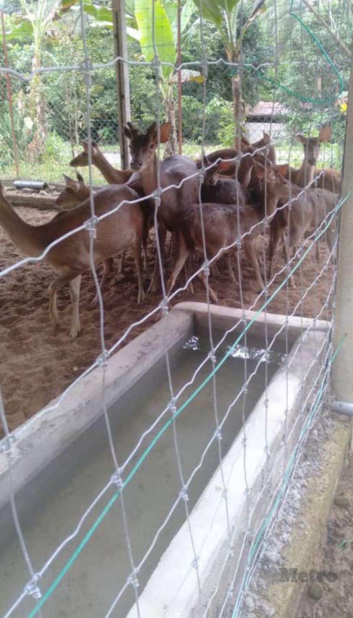 MOHD Zaid menyediakan kemudahan kolam air untuk memudahkan rusa minum air bersih.