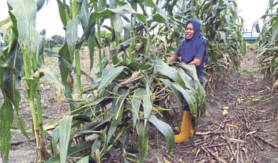 POKOK jagung ditebas untuk penanaman musim baru.