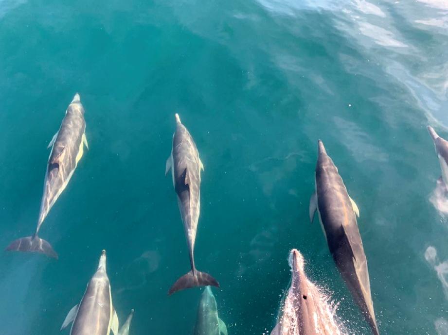 IKAN lumba-lumba di Hermanus.