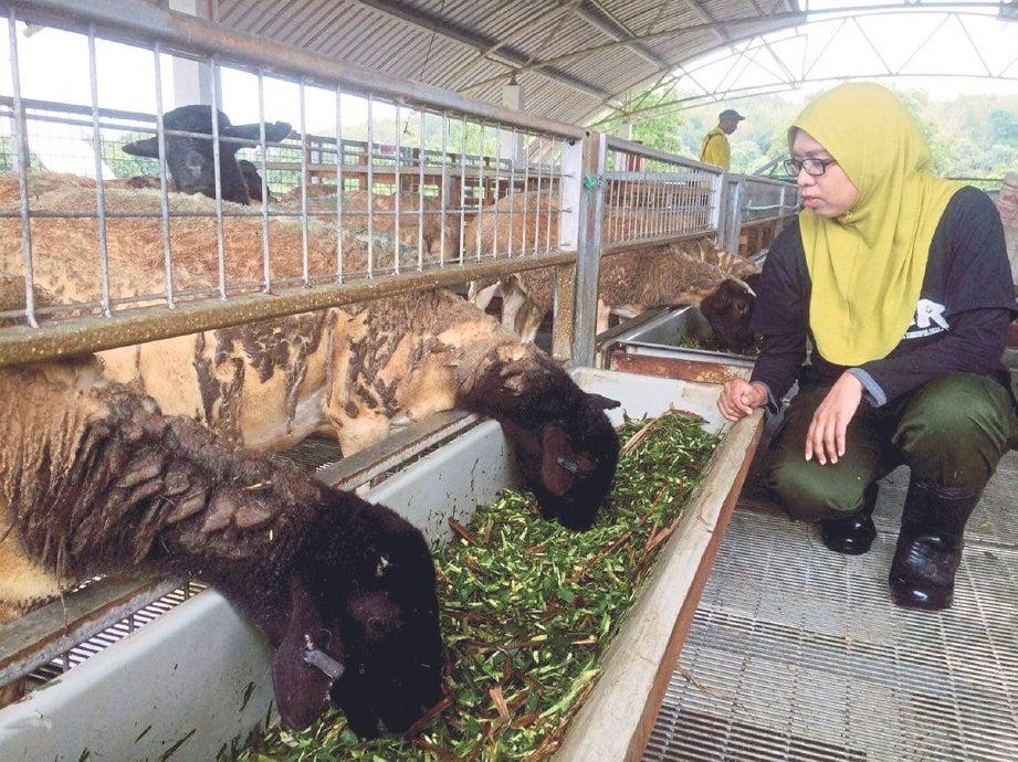 DR Khadijah memeriksa rumput yang dimakan kambing.