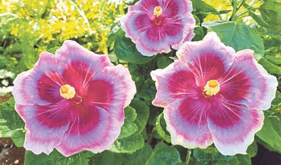 KOMBINASI warna unik menjadi penarik peminat tanaman hiasan.