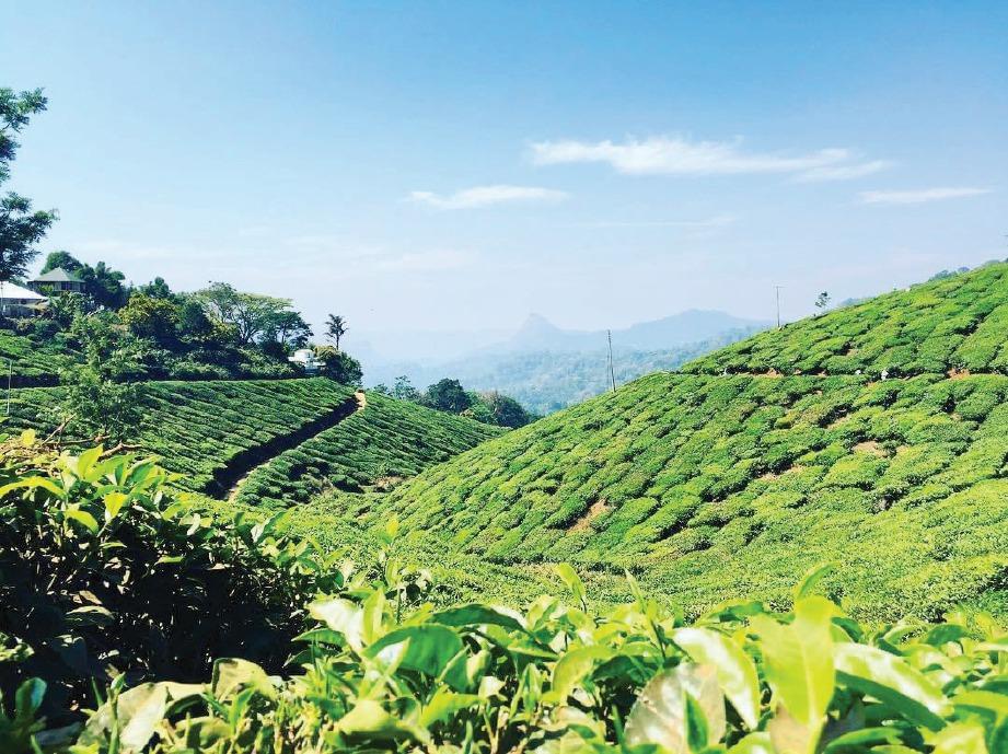 LANDSKAP ladang teh yang indah di Munnar.