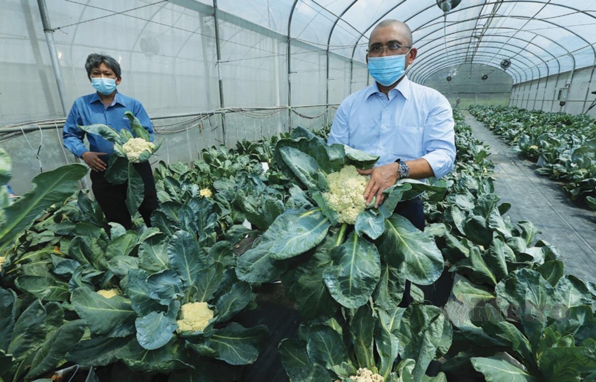 RONALD (kanan) meninjau hasil pengeluaran kubis bunga tanah rendah bersama Mohamad Roff dan plot tanaman terbabit.