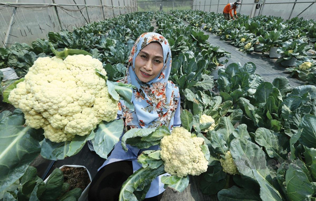 PENOLONG Pegawai Penyelidikan Mardi, Fazlinda Fadzil menunjukan kubis bunga hasil mengunakan Teknologi Pengeluaran Kubis Bunga Tanah Rendah.