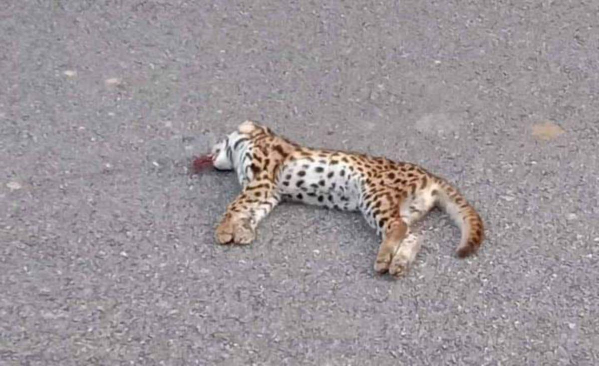 SEEKOR kucing batu mati dipercayai dilanggar kenderaan di Jalan Bongek-Gadong Rembau. FOTO IHSAN PEMBACA