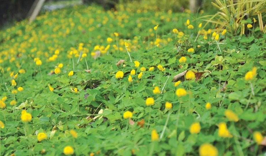 HAMPARAN bunga kuning kekacang pintoi.
