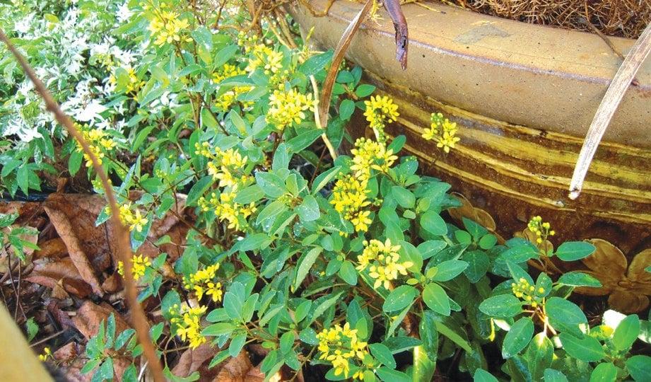 KUNING juga menjadi warna pembahagi kepada tanaman lain.