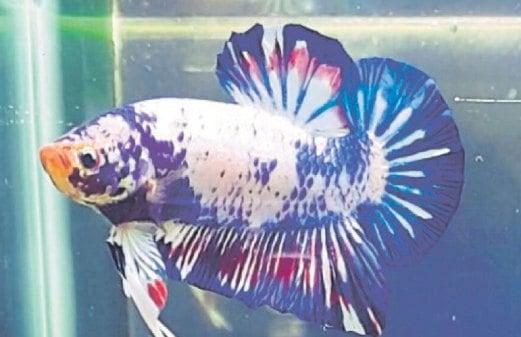 Eksport Ikan Laga Harian Metro