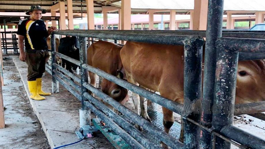 Pegawai penguat kuasa MAQIS Kelantan memeriksa sebahagian 22 lembu seludup yang dirampas di dua pangkalan haram di Rantau Panjang. Foto Ihsan MAQIS