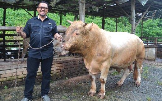 ZULKHAIRI menunjukkan seekor lembu diternak