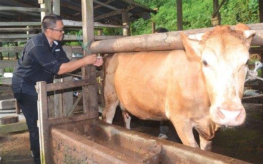 ZULKHAIRI menyuntik seekor lembu piliharaannya.