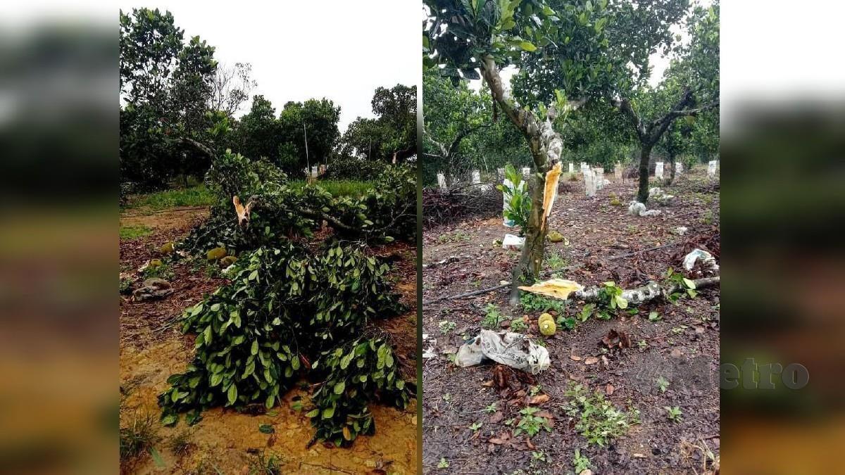 KEADAAN pokok nangka madu yang dimusnahkan gajah awal pagi tadi. FOTO Mohd Rafi Mamat