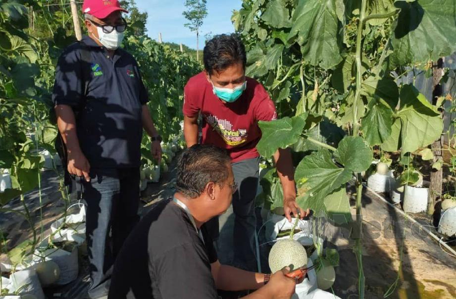 AHLI Parlimen Lipis, Datuk Seri Abdul Rahman Mohamad (tengah) ketika melawat ladang rock melon di Kampung Sai Gua, Kuala Lipis. FOTO ihsan FAMA