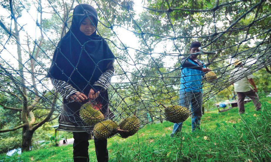 JARING digunakan bagi mengelak durian Musang King rosak dan pecah.